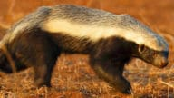 World's Most Fearless Creature, Honey Badger Is Not Afraid Of Even Lions - 5factum