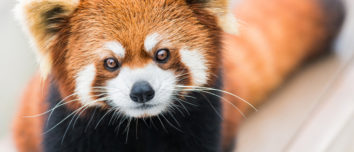 Interesting Facts About Red Pandas - 5Factum