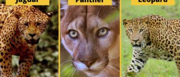 Do You Know What's The Difference Between Jaguar, Leopard, And Panther - 5Factum